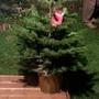 Meet Bernard.. the nordman fir.