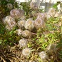 Fluffy seedheads