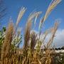 Zebra grass in November