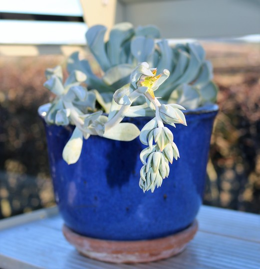 Echeveria 'Topsy Turvy' is flowering in the Greenhouse