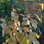 Last of the Cornus leaves... (Cornus sanguinea  Midwinter Fire.)
