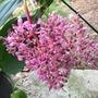 Medinilla cummingii - Philippine Orchid Flowers (Medinilla cummingii - Philippine Orchid)