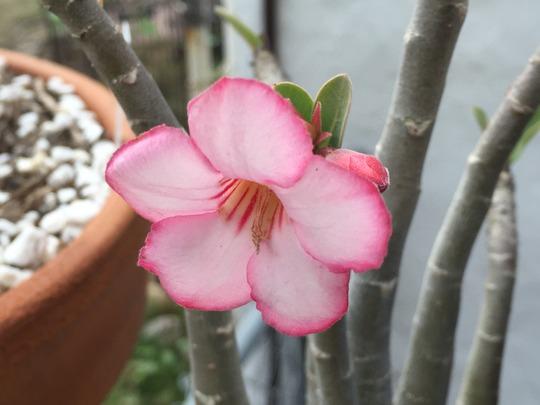 Adenium arabicum - Desert Rose Flower (Adenium arabicum - Desert Rose Flower)