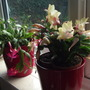Christmas Cactus for Thrupennybit