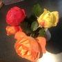 Last of my November Roses