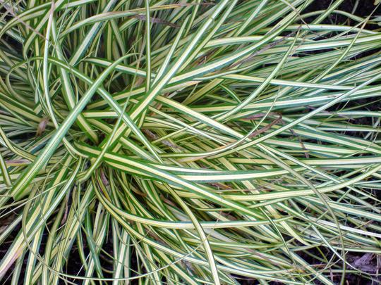 Carex morrowii (Carex morrowii)