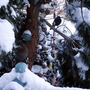 My favourite pine tree