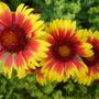 Indian Blanket  (Gaillardia aristata)