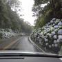 The way through the hidrangeas (Hydrangea)