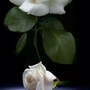 Yorkshire_rose_white