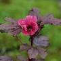 Hibiscus acetosella (Hibiscus acetosella)