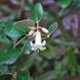 Correa Backhouseana..... (Australian fuchsia Correa.)
