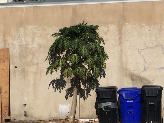 Carica papaya 'Maradol' - Maradol Papaya (Carica papaya 'Maradol' - Maradol Papaya)