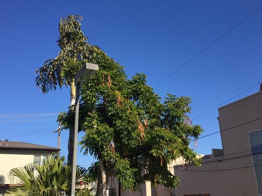Fishtail Palm and Markhamia (Caryota urens and Markahimia lutea) (Fishtail Palm and Markhamia (Caryota urens and Markahimia lutea))