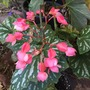 Shrubby Begonia (Begonia)