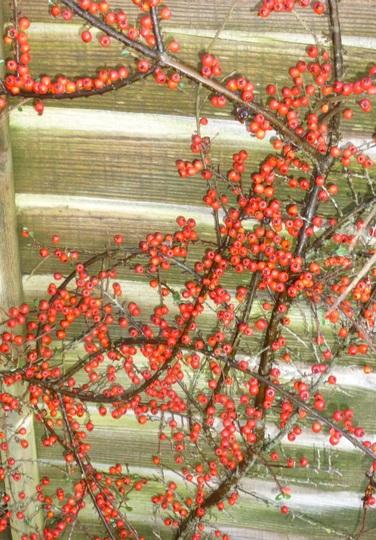 Cotoneaster horizontalis berries (Cotoneaster horizontalis (Cotoneaster))