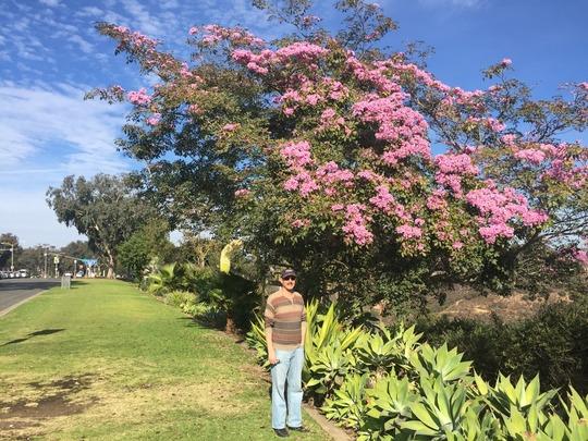 Tabebuia impetiginosa - Pink Trumpet Tree Flowering (Tabebuia impetiginosa - Pink Trumpet Tree)