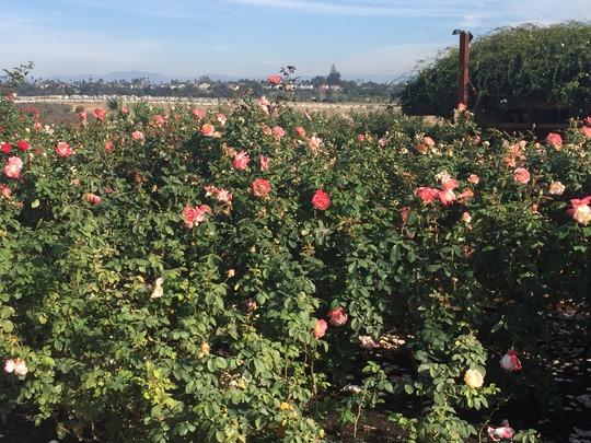 Roses, Roses, Roses (Rosa)