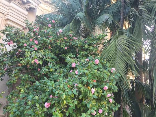 Camellia and Howea   (Camellia and Howea)