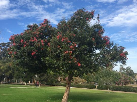 Corymbia (Eucalyptus) ficifolia -  Red Flowering Gum (Corymbia (Eucalyptus) ficifolia -  Red Flowering Gum)