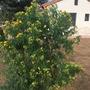 Cassia tomentosa (aka:Senna multiglandulosa) - Wholly Senna (Cassia tomentosa (aka:Senna multiglandulosa) - Wholly Senna)