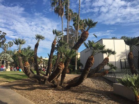 Mediterranean Fan Palm (Chamaerops humilis) (Mediterranean Fan Palm (Chamaerops humilis))