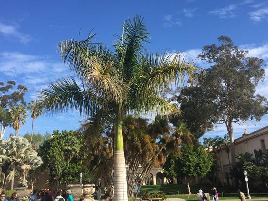 Roystonea regia - Royal Palm (Roystonea regia - Royal Palm)