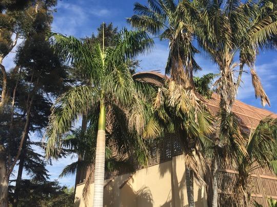 Royal  and Kentia Palms (Roystonea regia, Howea fosterana) (Roystonea regia and Howea fosterana)