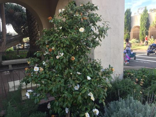 Camellia sinensis - White Camellia Flowering (Camellia sinensis - White Camellia)