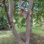 Betula albosinenis Chinese Ruby