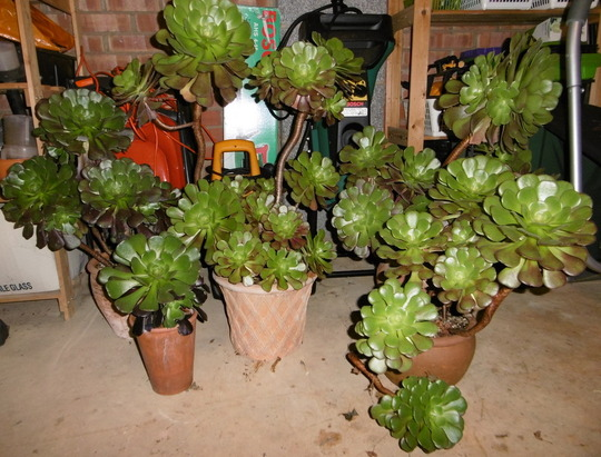 Overwintering Aeoniums in the garage