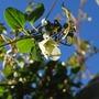 Clematis cirrhosa Wisley Cream... (Clematis cirrhosa (Clematis) Wisley Cream..)