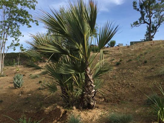 Nannorrhops ritchiana - Mazari palm (Nannorrhops ritchiana (Mazari palm))