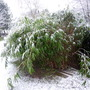 Bamboo Weighted Down With Snow
