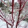 Acer palmatum Sango kaku (Senkaki)