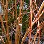 Salix alba var. vitellina 'Britzensis'