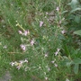 Rosmarinus officinalis 'Roseum' - 2018 (Rosmarinus officinalis 'Roseum')