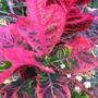 Codiaeum variegatum 'Angel Wings' - Croton (Codiaeum variegatum 'Angel Wings' - Croton)