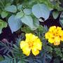 Margold_yellow