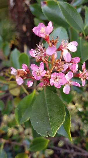 Rhaphiolepsis Enchantress... (Rhaphiolepis indica (Indian Hawthorn))