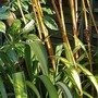 Phyllostachys vivax and Phormium... (Phyllostachys vivax.)