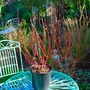 Cornus Baton Rouge......(for our records) (Cornus alba (Red-barked dogwood))