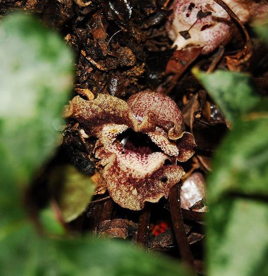 Asarum splendens (Asarum splendens)