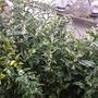 Sarcococca  (Sarococca hookeriana Humilis)