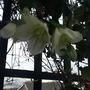 Clematis cirrhosa Jingle Bells (Clematis cirrhosa (Clematis))