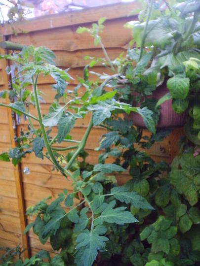 tomatoe_in_hanging_basket.jpg