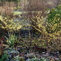 Hamamelis mollis - Stealing the show at the moment