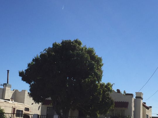 Mango Tree  (Mangifera indica) (mangifera indica (Mango))