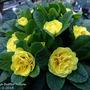 Belarina Primrose.  Butter yellow