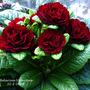 Belarina Primrose. Valentine